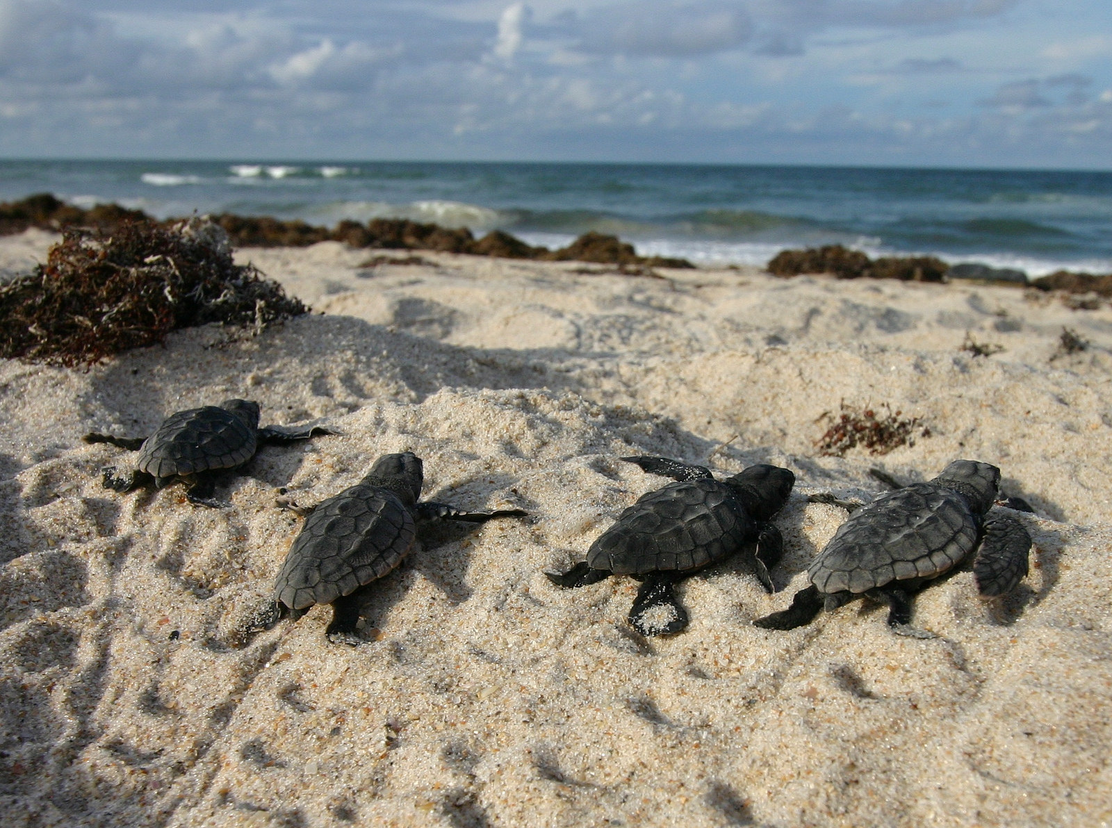 Sea Turtles Pompano Beach